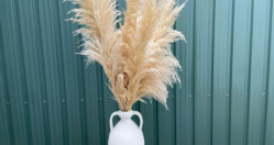 5 reasons why I love pampas grass